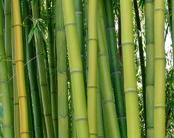 Digital Download Bamboo Photography Print