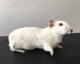 Cochon d'Inde blanc grand taxidermie