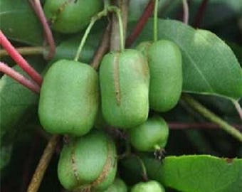 Actinidia arguta 10 cuttings, Ananasnaya, Anna kiwi, Edible HARDY Fruit Vine