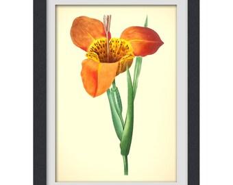 Botanical Print, Redoute art, Floral Printable orange flower, 8x11 botanical art print from a vintage book plate. #INSTANT DOWNLOAD 44