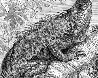 Long Clawed Iguana Victorian Reptile 1890 Vintage Herpetology Natural History Antique Illustration Print To Frame Black & White