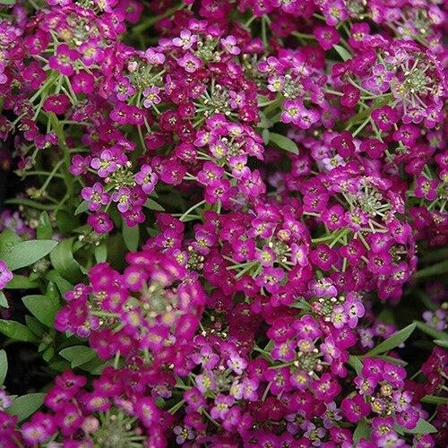 Alyssum Royal Carpet Flower Seeds Lobularia Maritima