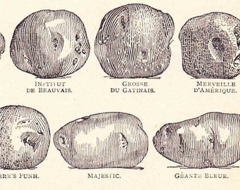 Antique French Print Dictionary Page1920s Illustration Potato varieties Potatoes Heritage Heirloom