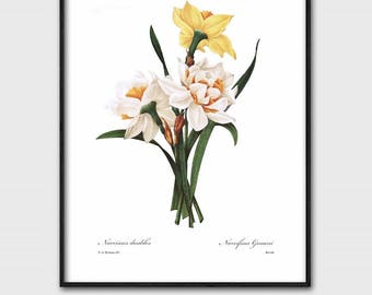 Botanical Art Prints, Daffodil Art, Instant Digital Download (Printable Yellow Flower Print, Spring Home Wall Decor) Pierre Redoute