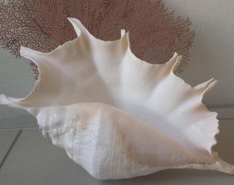 Large Sea shells, Large Shell, Giant Spider Conch Shell, Sea shells, Beach Decor, Nautical Decor, Coastal Decor