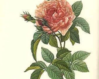 Redoute Botanical Rose Print  57