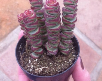 Small Succulent Plant - Crassula 'Baby Necklace'