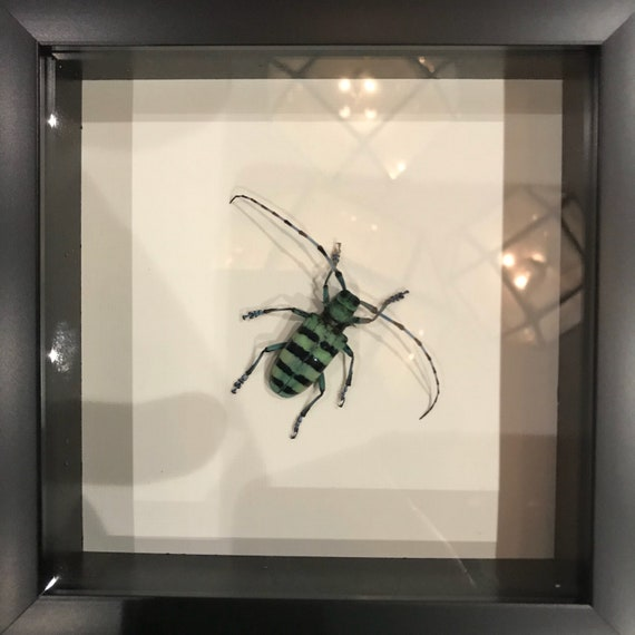 Real long antenna beetle taxidermy display!