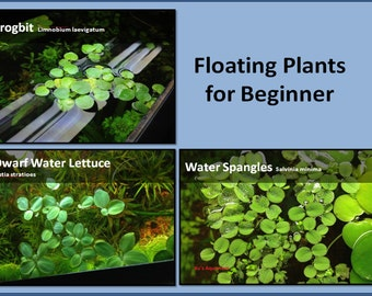 Floating Plant Package #1, Frogbit + Dwarf Water Lettuce + Water Spangles,Live Aquarium/Floating/Pond/aquatic Plant, Aquascaping, betta tank
