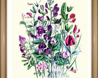 "Botanical Print.  Sweet Pea #2. Flower Print. Flower Art. Botanical Wall Art. 8x10"""