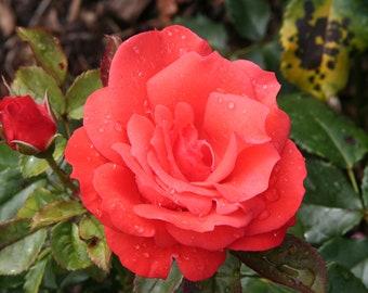 Dublin Rose, Botanic Gardens, Ireland