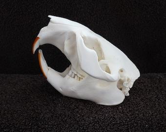 Real Beaver Skull Taxidermy