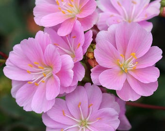 "LIVE architectural plant Lewisia cotyledon very cold hardy ""broadleaf"" evergreen (-39.9C (-40F))"