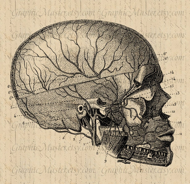 Cráneo humano Anatomía gráfica imagen Digital hierro las
