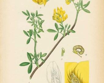 YELLOW ALFALFA - 1905 Botanical Book Plate 326 - Bilder ur Nordens Flora