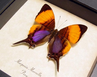 Real Framed Purple Orange Conservation Quality Butterfly Display 300