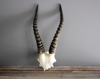 African Antelope Antler Taxidermy Freestanding Unmounted Natural Skull and Horns