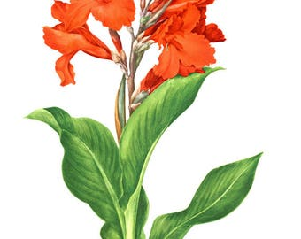 Red canna lily botanical art 1972 Vintage canna botanical print Red Botanical wall art French country decor Red flower