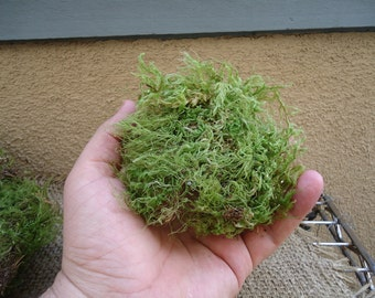 Large portion green sheet moss for terrariums and orbs.
