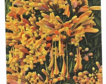 Vintage Florida Linen Postcard The Flame Vine Bignonia Venusta UNUSED