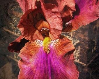 Iris, Fine Art Photograph, Flower Photography, Iris Photo, Home Decor, Bronze, Deep Violet, Pop of Color, Gifts for Her, Nature Photograph