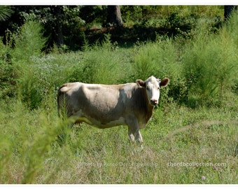 Cow in a Southern Pasture Photograph