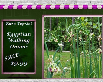 VikkiVines~12 EGYPTIAN WALKING ONIONS ~Rare Unique Top Set ~ Edible & Ornamental ~ Organic Bulbils! ~ Fabulous Garden Gift
