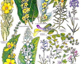 1965 Botanical Print - White Mullein, Small Toadflax, Snapdragon, Weasel's Snout - British Flowers Vintage Book Plate P63
