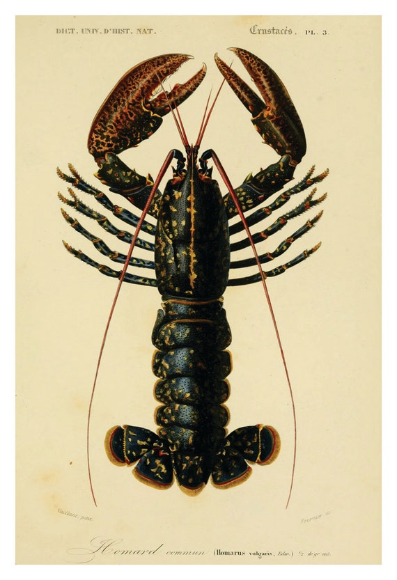 Vintage Lobster Beach art Natural History crustacean art