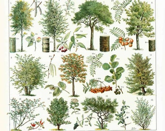 1933 Vintage Trees Print. Identication Chart. Wooden Plant Wall Art. Antique Botanical print. Authentic Framable Art. Larousse