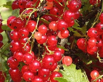 Cherry Red Currant, Large, Dark Red Fruit For Jams And Jelly.
