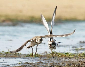 Semipalmated Plover Photo | Bird Action Photography | Summer Decor | Bird Watcher Gift | Beach Art | FeatherWindStudio | Flying Birds Print