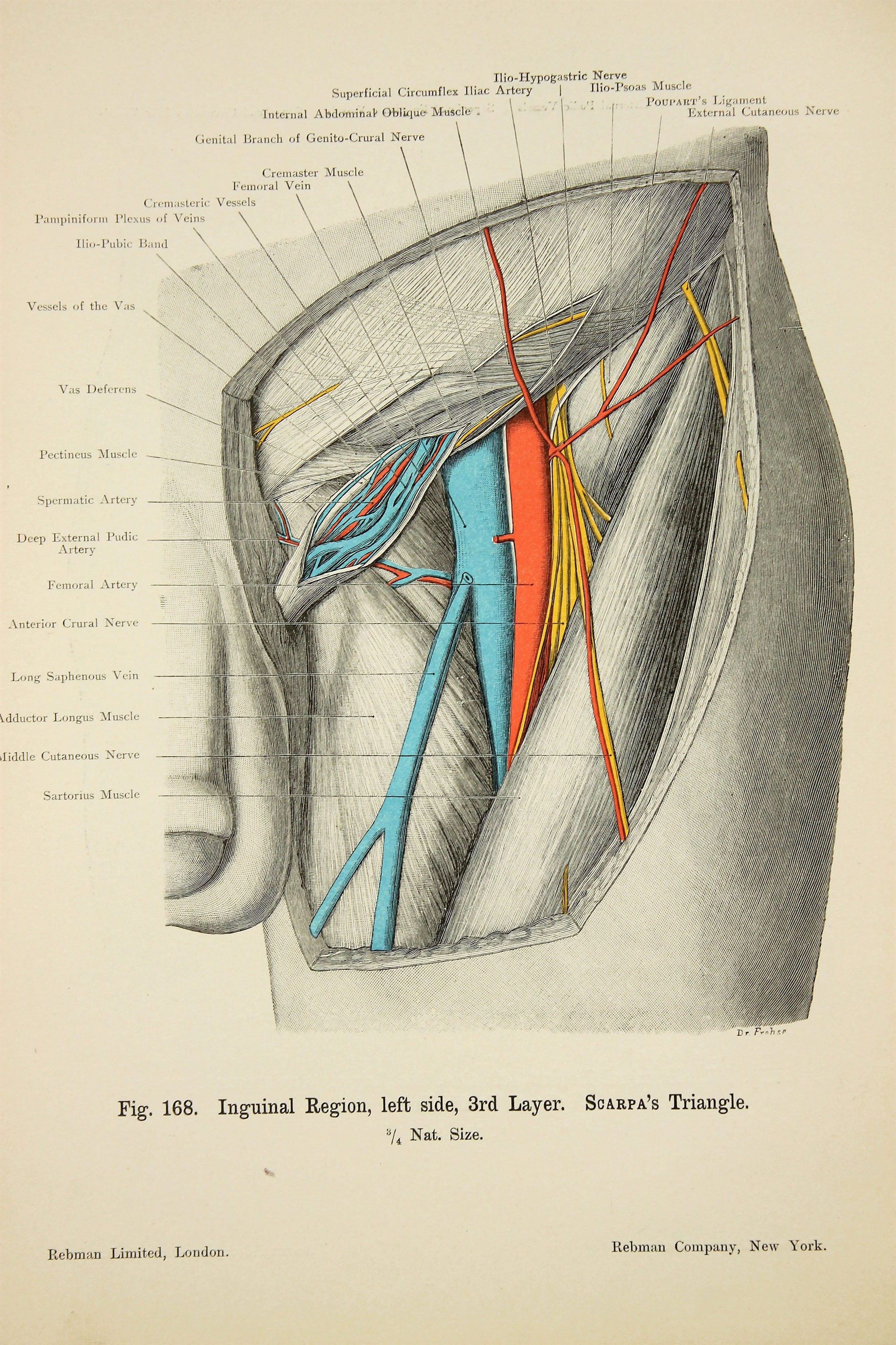 Thigh Muscles Arteries Veins Nerves c.1900 DOUBLE SIDED