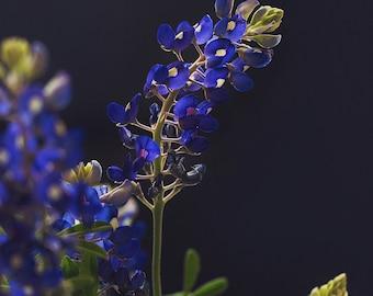 Bluebonnet Art, Nature Photography, Texas Bluebonnets, Landscape Photograph, nature print, modern wall art, bluebonnet print, nature art
