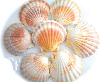 "Irish Deep Baking Scallop  (1 piece) ~ Large Sea Shell ~ Scallop ~ Clam Shell ~ Beach Decor ~ Wedding Decor ~ Mermaid Shells ~ Colorful ~ 4"""