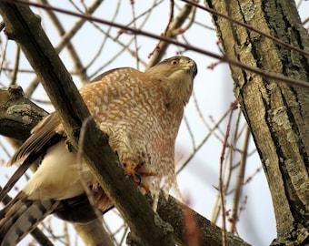 "February Falcon (formerly ""Regal Falcon"")"