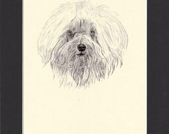 Maltese Vintage Dog Print by C.Francis Wardle - 1935 Print of Drawing, Mounted with Mat Maltese Print Toy Dog Maltese Drawing Maltese Art