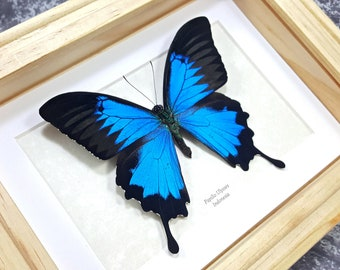 Framed Papilio ulysses Blue Mountain Swallowtail Butterfly Taxidermy A1- #164