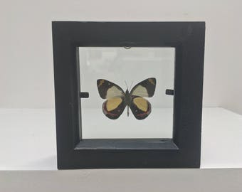 Delias Dixeyi Arfak Butterfly/Insect/Taxidermy/Lepidoptera.