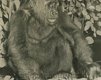 Cute baby gorilla antique animal photo