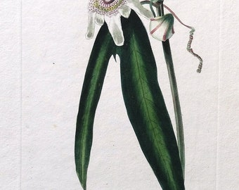 PASSION FLOWER PUNCTATA Loddiges Vintage Botanical Antique Flower Print c1820