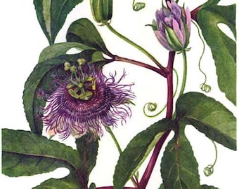 Passionflower Maypops Plant Flowers Vintage 1955 Botanical Herbal Lithograph Art  Print To Frame 231