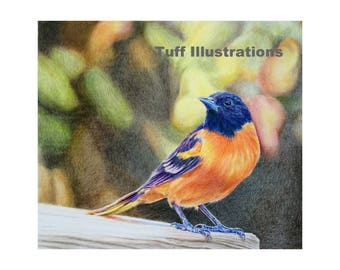 Baltimore Oriole print of colored pencil drawing with blurred nature background