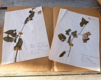 Antique1951 set of 2 French-herbarium-on light paper Solanum Dulcamara