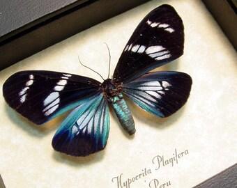 Real Framed Rare Electric Blue Day Flying Moth Display Hypocrita Plagifera Female 8175