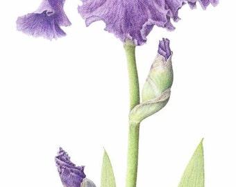 "Bearded Iris ~  purple and white iris - 16""x20"" botanical art print- iris print - colored pencil drawing - summer flower - wall art"