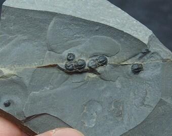 Trilobite Peronopsis interstrictus Natural Cambrian Utah fosilies fossils Trilobiten