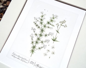 Gallium Herb Botanical Illustration Archival Print on Watercolor Paper