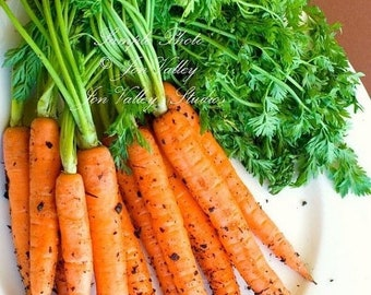 Scarlet Nantes Carrot NON Gmo 250 Seeds Sweet crunchy gourmet heirloom vegetable Farmers market best seller Home Garden Favorite