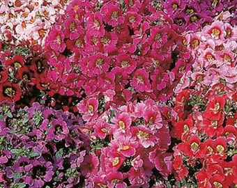 Angel Wings Butterfly Flower Seeds/Schizanthus x Wisetonensis/Annual   75+